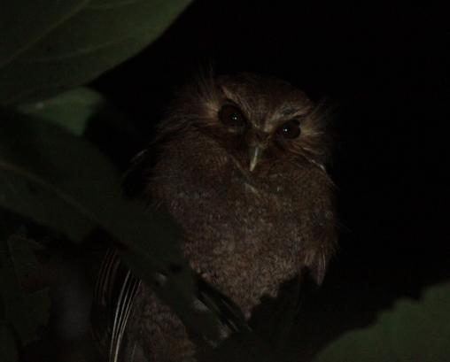 La Esperanza Target birds Long-whiskered Owlet, Cinnamon Screech-owl, Lulu's Tody-tyrant Location info La Esperanza is a village on the road between Florida de Pomacochas and the Abra Patricia pass.