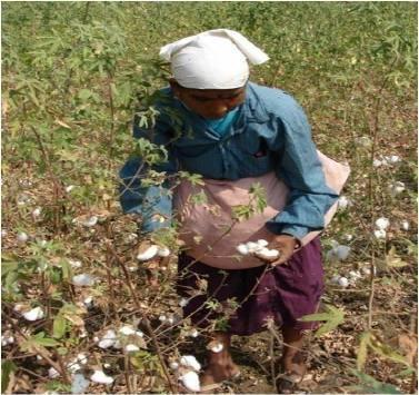 Volume 3 Issue 2 IJSRST/Conf/NCAEAS/ACET/2017/41 needed for cotton plants to be harvested by mechanical picker.