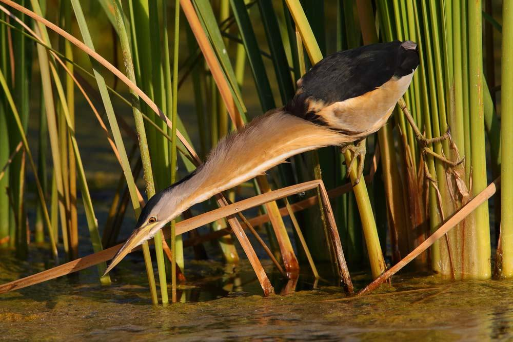 MALE LITTLE BITTERN