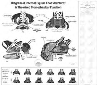 WC17 Internal Hoof Anatomy & Biomechanics 20 x 18 This full color laminated poster is an  Along with the 3-D model of the basic internal structures of the foot, this