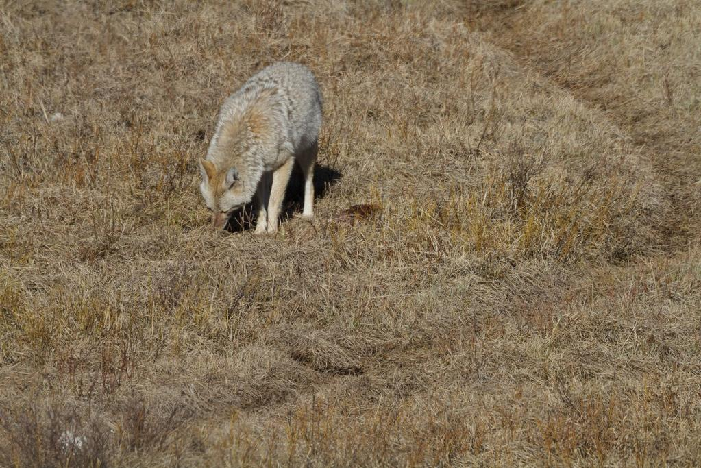 Compare the low angle above to this coyote viewed from a much higher angle. You don t feel like a part of his world, and there is nothing to help separate the subject and background.