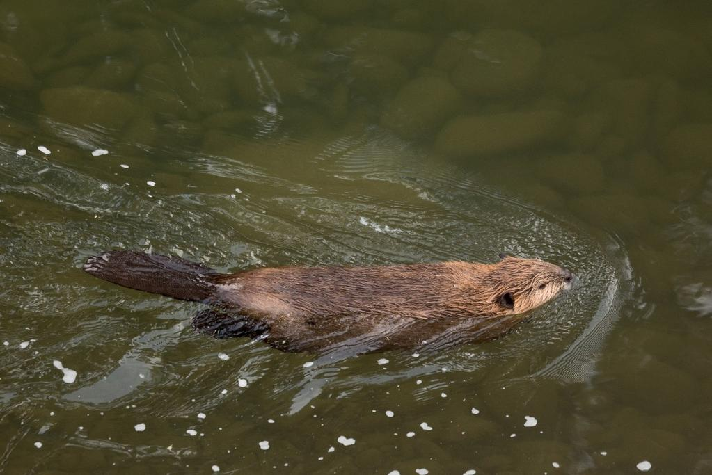 A high angle isn t always a bad thing, as it can help reveal your subject better in some cases. One example is when I photographed a swimming beaver in a river from a bridge above.