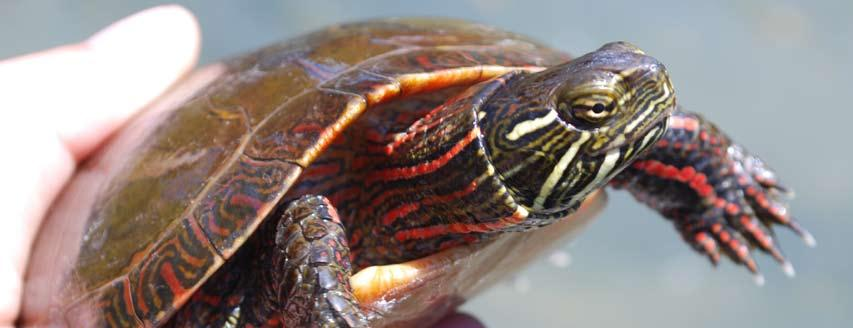 9 Results Cover photo: Midland Painted Turtle captured in a turtle trap set along the Upper St. Clair River in 2012. 1. Juvenile Mudpuppy observed along the Upper St. Clair River in 2012. 2. Gravid Butler s Garter Snake released at the restoration site in 2014.