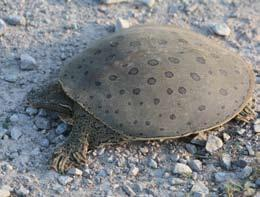 13 1. Eastern Spiny Softshell Turtle was observed in the St. Clair River in 2013 just north of the study area.