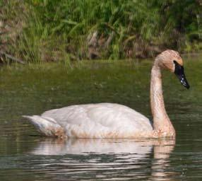 59 Appendix D: Bird Species Profiles Allen Chartier Allen Chartier Allen Chartier Trumpeter Swan Trumpeter Swan is a State Threatened bird species that uses inland wetland areas to fulfill its life