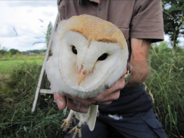 North East Wales Barn Owl Project Newsletter Number 4 July 2013 The Barn Owl Breeding Results for 2009-2012 Within this newsletter we show what was found at each of the nest sites that were monitored