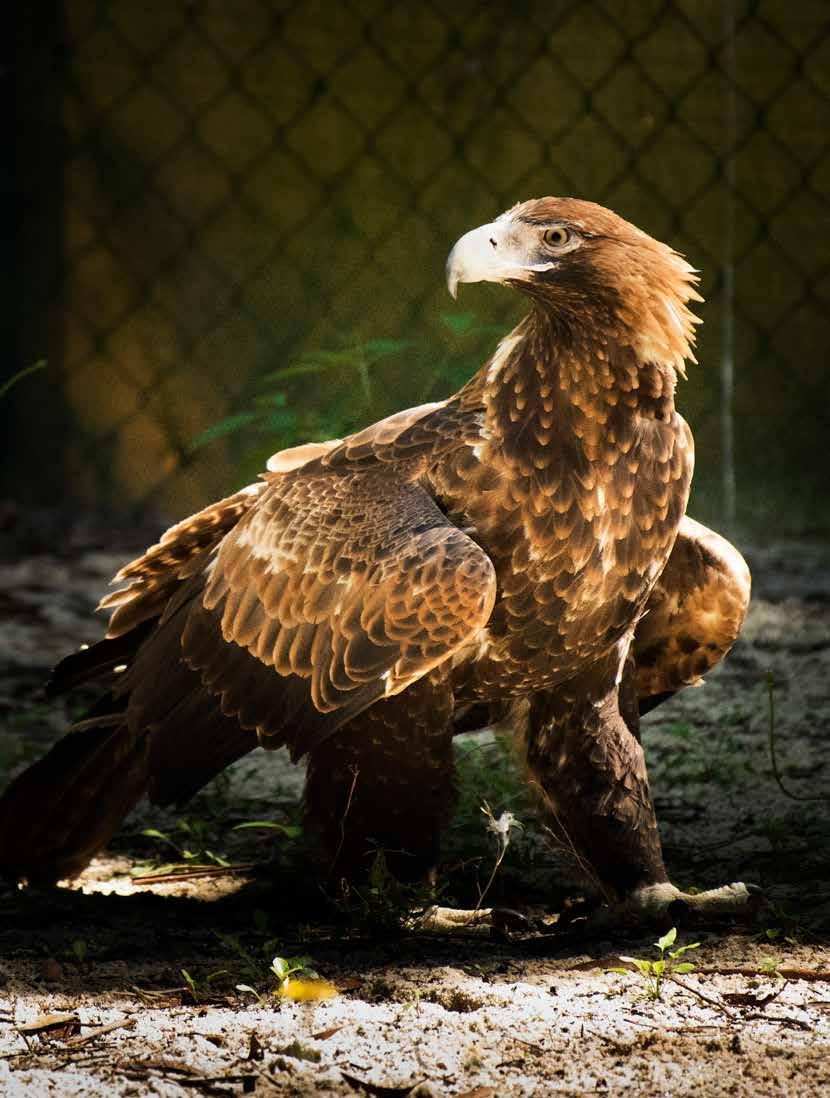 Grounded by a viral disease that has warped its feathers and prevents it from flying, a wedge-tailed eagle strides the sandy floor of the huge,