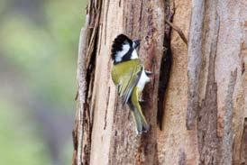 At the Talbot Road study site four pairs of Crested Shrike-tit were studied for close to ten years.