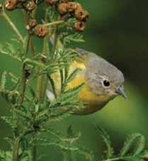 United States. Nashville warblers are common window collision victims in Minnesota. Now in its third year, Project BirdSafe continues to make strides to reduce hazards to birds.