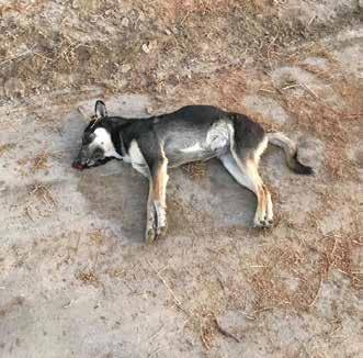 Monday, January 15, 2018 5 Activists furious as stray dogs poisoned to death Harpreet Kaur/DTNN reporter@dt.